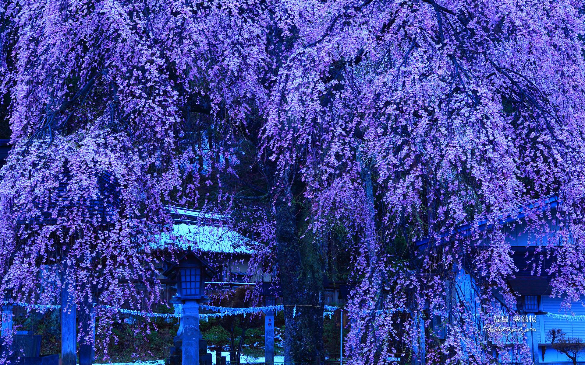 なごり雪の楽翁桜