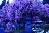 暁の境内の楽翁桜