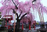 妙関寺の乙姫桜
