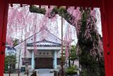 山門越しの妙関寺本堂と乙姫桜