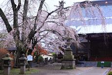 妙徳寺の薄墨桜