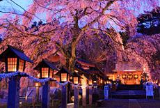白河市の桜