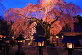 灯篭とライトアップした楽翁桜