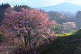 合戦場のしだれ桜の付近も春爛漫
