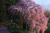 朝の斜光線の合戦場のしだれ桜