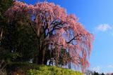 合戦場の枝垂れ桜を下から見上げて