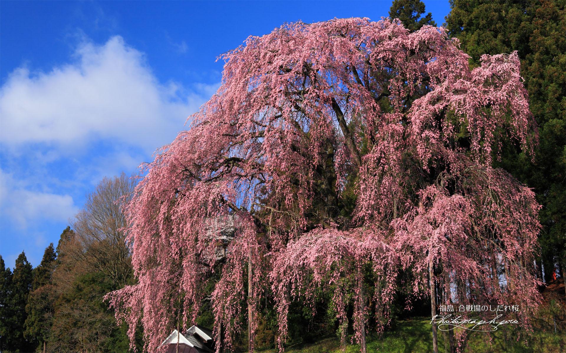 滝桜の子孫