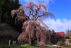 福田寺の糸ザクラ