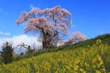 塩ノ崎の大ザクラ 菜の花