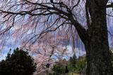 光岩寺墓地の枝垂れ桜