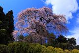 町入口の桜