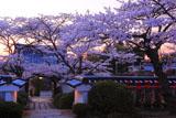 桜と福聚寺山門