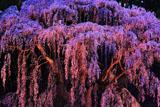 福聚寺の紅枝垂桜ライトアップ