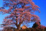 七草木天神桜と御堂