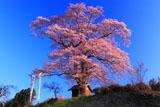 七草木天神桜とのぼり