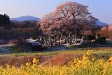 七草木の桜