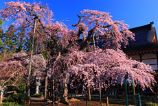 愛蔵寺の護摩ザクラ