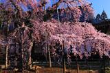 愛蔵寺の護摩桜と本堂