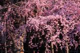 愛蔵寺の護摩ザクラのアンビバレンス