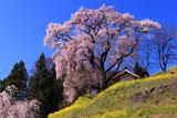 天神夫婦桜と菜の花