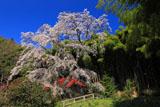 雪村桜と竹林