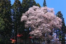 成田神社の種蒔桜
