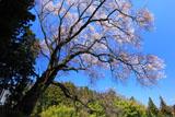 成田神社の種まき桜