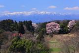 平堂壇の江戸彼岸桜