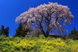 菜の花の丘と芹ヶ沢桜