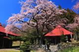 水月観音堂桜