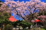 常林寺のしだれ桜