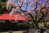 水月観音堂のしだれ桜
