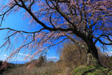 五斗蒔田桜と安達太良山