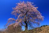 見上げた五斗蒔田桜