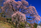 伊勢屋の枝垂桜