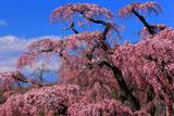 高台からの紅枝垂れ地蔵桜