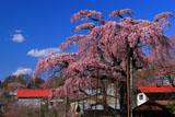 紅枝垂地蔵桜と岡ノ内地区の民家