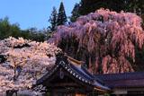 吉野桜と紅枝垂桜