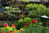 鎌倉長谷寺のボタンとオオデマリ
