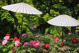 長谷寺の牡丹と日傘