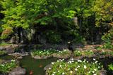鎌倉長谷寺放生池のオランダカイウ