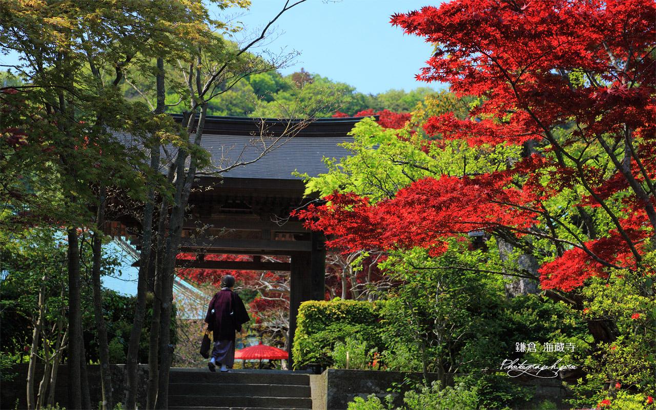 海蔵寺 春紅葉と山門 壁紙