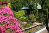 円覚寺松嶺院の芝桜と牡丹