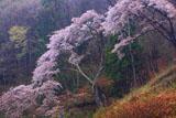 入小滝の山桜