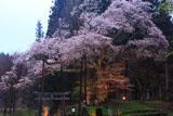 磯上の山桜