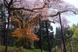 磯上の山桜の絡み合う幹