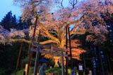 栃木県の桜