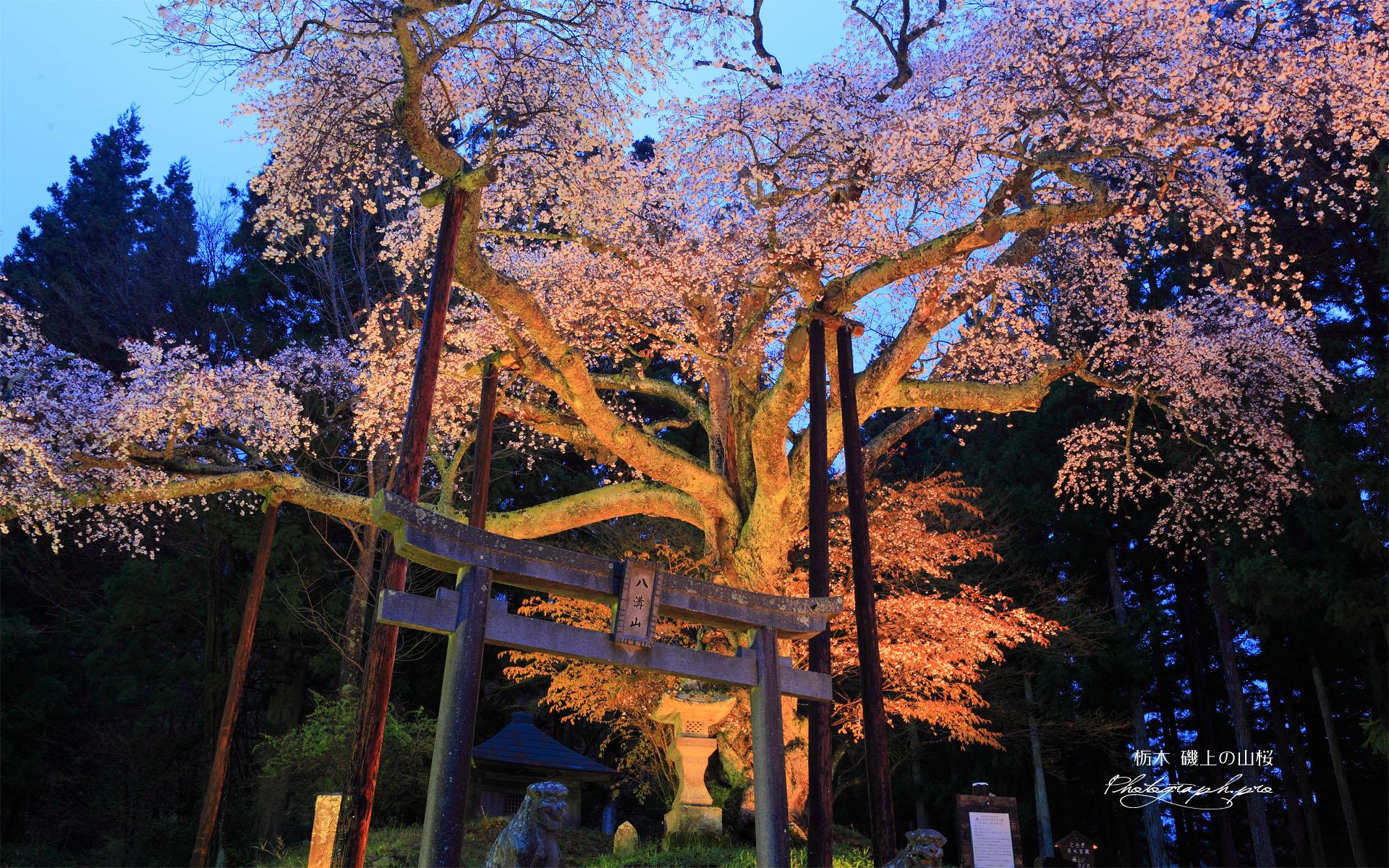 磯上の山桜のライトアップ