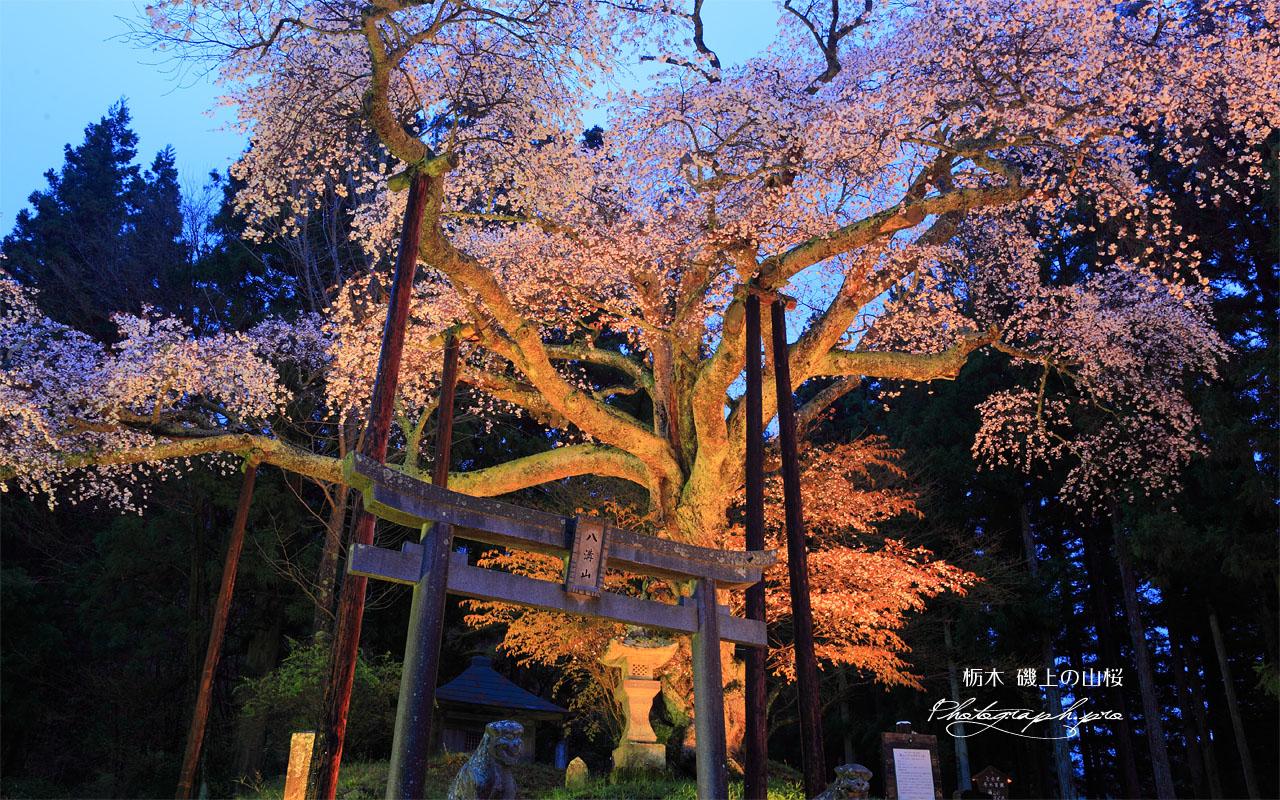 磯上の山桜のライトアップ 壁紙
