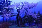暁の謙信の逆さ桜
